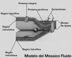 Las 14 Mejores Imágenes De Membrana Celular En 2014 Cell Membrane