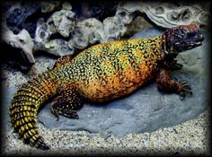 Deer Fern Farms Uromastyx Species Page Geckos, Uromastyx Lizard, Pictures Of Reptiles, Deer Fern, Colorful Snakes, Reptile Skin, Funny Frogs, Pet Snake, Types Of Animals