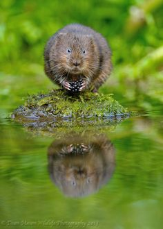 "Water Vole.  ""I'm smarter than I look.  Don't believe me?  Ask that guy in the water there.  He knows.  Oh, he knows."""