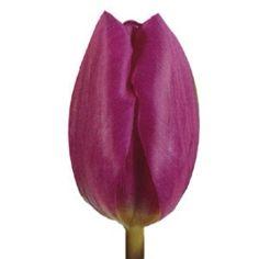 Standard Tulip