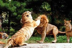 Hi Friends! Watch This Funny Video. Fight Between Cub And Whelp