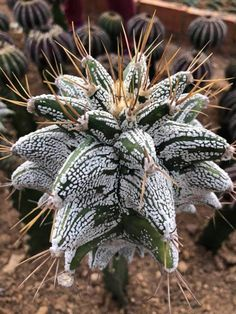 Succulent Gardening, Succulent Pots, Cacti And Succulents, Planting Succulents, Cactus Plants, Weird Plants, Unusual Plants, Tree Mushrooms, Desert Flowers