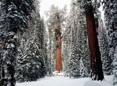 Voici l'un des plus vieil arbre du monde, il se nomme « Président » et ses premières feuilles ont vu le jour il y a 3200 ans… Un arbre qui, s'il pouvait parler, pourrait nous en dire long sur notre passé.