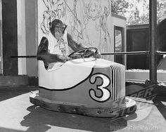 bumper-car chimp