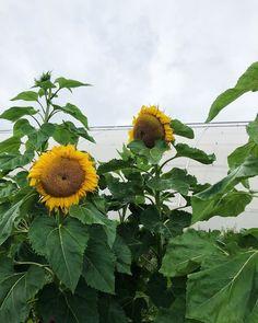"""Gröna Fingrar on Instagram: """"#odla #odling #odlahemma #odla2019 #trädgård #köksträdgård #blommor #sommarblommor #solros"""" Plants, Instagram, Flora, Plant"""