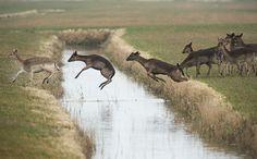 Fallow Deer practicing ditch jumping It's springtime