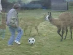 Soccer-playing llama shows improved passing Martial Arts, Soccer, Alpacas, Youtube, Favorite Things, Training, Animals, Watch, Funny