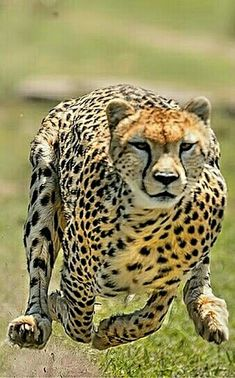 High-Powered Running Cheetah.