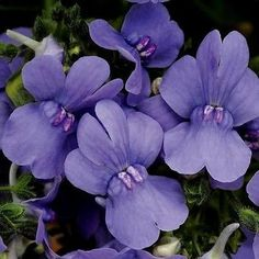 200+ Nemesia Blue Gem Flower Seeds , Under The Sun Seeds