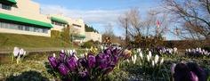 Crocus display at Nanaimo campus of Vancouver Island University Vancouver Island, University, Bloom, Canada, Display, Spring, Plants, Floor Space, Billboard