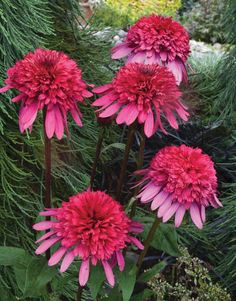Echinacea 'Supreme Elegance' from Blooms of Bressingham - New Perennials For 2014: Reds And Pinks