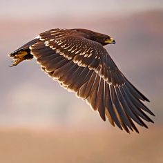 Greater Spotted Eagle Flight at sunset