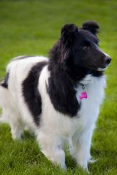 Chloe is an adoptable Shetland Sheepdog Sheltie Dog in Airdrie, AB. Chloe is a beautiful 5-year-old bi-black girl. �She is very friendly (freely gives kisses) and loves to play. � She is not overly shy ...