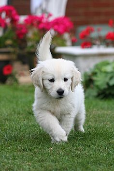 Adorable Golden Cream Puppy. #goldens #retrievers #dogs #puppies #pets #animals