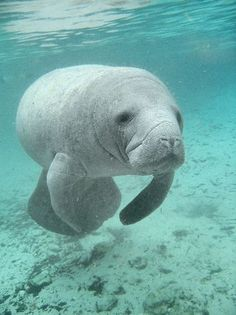 I love to watch the Manatees play & swim. I love it even more when they come up to our boat to say hello & show off. It is an amazing sight.