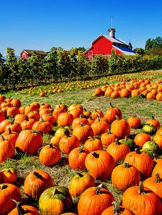 Wish this was MY pumpkin patch! Beautiful farm house in the country with plenty of pumpkins in the patch!