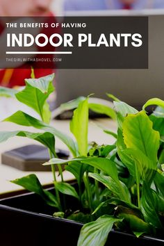Did you know that houseplants can make you happier, less sick, and more creative?!?! Check out the scientific results in my post about the benefits of indoor plants! Indoor Plant Benefits | Houseplant Benefits | Snake Plant Indoor Benefits | Aloe Vera Plant Indoor Benefits | Jasmine Plant Indoor Benefits | Rubber Plant Indoor Benefits | Ivy Plant Indoor Benefits | Benefits fo Indoor Plant | Bamboo Plant Indoor Benefits | Spider Plant Indoor Benefits | #houseplantsmakemehappy Aloe Vera Plant Indoor, Jasmine Plant Indoor, Ivy Plant Indoor, Best Indoor Plants, Benefits Of Indoor Plants, Apartment Plants, Rubber Plant, Low Light Plants, House Plants Decor