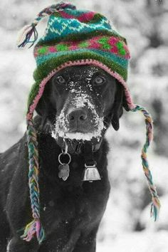 Hilarious black lab covered in snow, dressed in a hat.