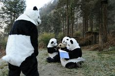 Only one of them is a real panda, others are keepers.