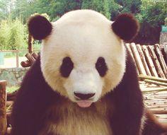 Panda, cute little tongue!