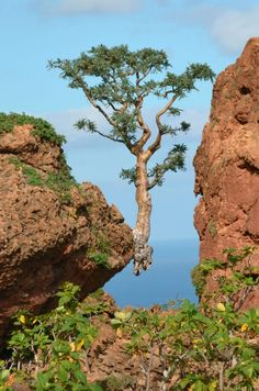 Socotra Island - Located in the pirate-infested Gulf of Aden, off the coast of Somalia and belonging to Yemen - frankincense tree