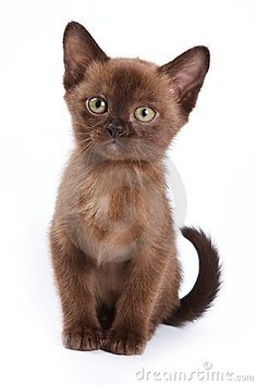 burmese kitten - looks just like our precious kitten. She is definitely a burmese. Such a unique color