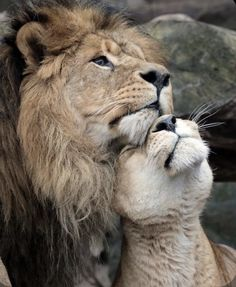 🦁If you Love Lions, You Must Check The Link In Our Bio 🔥 Exclusive Lion Related Products on Sale for a Limited Time Only! Tag a Lion Lover! 📷:Please DM . No copyright infringement intended. All credit to the creators. Animals And Pets, Baby Animals, Cute Animals, Wild Animals, Royal Animals, Lion Pictures, Animal Pictures, Nature Pictures, Beautiful Cats