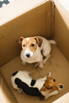 Jack Russell playing at Home. by Javier Pardina for Stocksy United