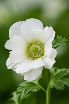 White anemone Beautiful gorgeous pretty flowers