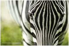 Zebra by Tommy Gamboa Flores on 500px