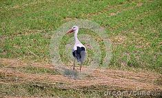 White Stork on Field. Storks are large, long-legged, long-necked wading birds with long, stout bills.