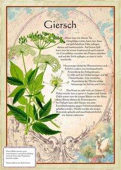 Giersch www. - Back to the Nature - Garten Design Healing Herbs, Medicinal Plants, Natural Healing, Plant Illustration, Botanical Illustration, Herb Garden, Garden Plants, Herbs Indoors, Wild Nature