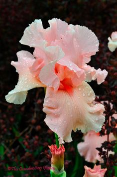 "Gorgeous peach iris.  Does anyone know its name?  And don't say ""Iris""!"