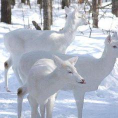 white deer herd