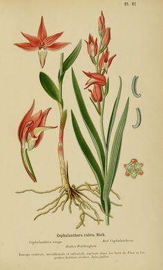 Cephalanthera rubra ~ by Henry Correvon