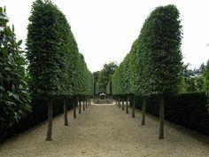 Pleached Hornbeam & Yew hedge
