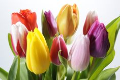tulipanes-de-colores-tulips-color-flowers.jpg (1600×1065)