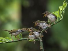 Bar-winged Prinia; wildlife and bird photography by Suanto Nature.