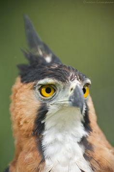 Aigle orné - Spizaetus ornatus