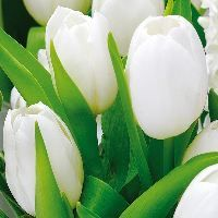 #tulipes blanches