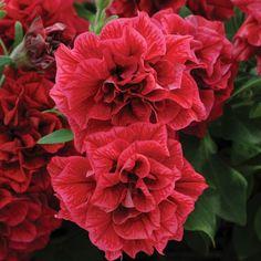 Pack x6 Trailing Double Petunia Tumbelina /'Cherry Ripple/' Basket Plug Plants