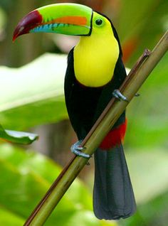 Toucans really do look kind of awkward.  But, I love the color and beauty!