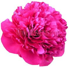 Order fresh cut peonies flowers in different colors such as white, blush, pink, hot pink, dark red and coral. Peonies are the favorite wedding flowers. Hot Pink Flowers, All Flowers, Paper Flowers, Buy Peonies, Pink Peonies, Wedding Bouquets, Wedding Flowers, Peacock Wedding, Star Of Bethlehem