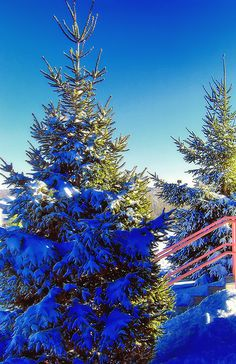 Pine Trees,  Winter Wonderland, Prairie, Missouri