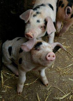 Hello little piggy's!