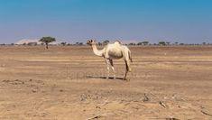 Lonely camel in the desert Livestock, Mammals, Lonely, Dubai, Safari, Tourism, Deserts, Wildlife, Mexico