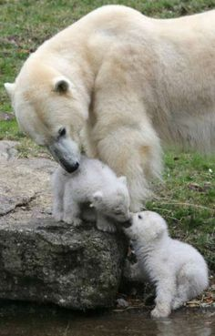 The two 14 week-old polar bear twins explore on March 19, 2014 the outdoor enclosure with mother Giovanna at Tierpark Zoo in Munich.  AFP PH...