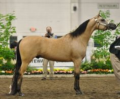 Image detail for -Horses For Sale at Command Performance ~ Arabian, Pinto, Quarter ...