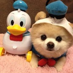 I need one!!!! Pomeranian