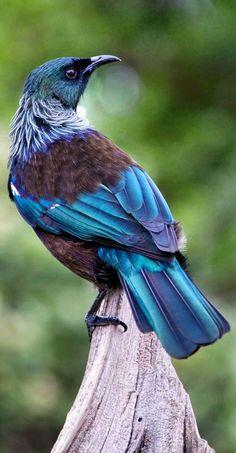 Tui, New Zealand - Prosthemadera novaesselandiae - Endêmica da Nova Zelândia Pretty Birds, Beautiful Birds, Animals Beautiful, Cute Animals, Kinds Of Birds, All Birds, Love Birds, Exotic Birds, Colorful Birds